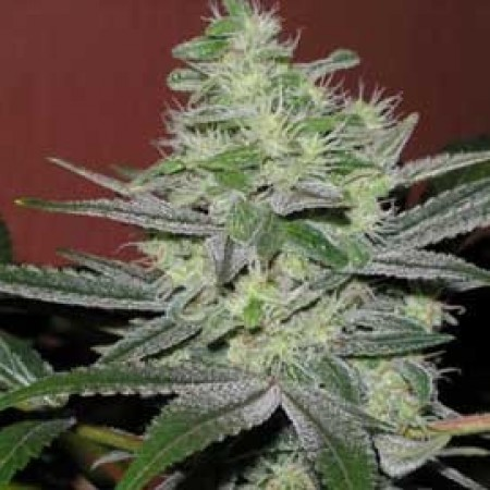 Toxic blue cannabis strain report for Ganja rebel seeds