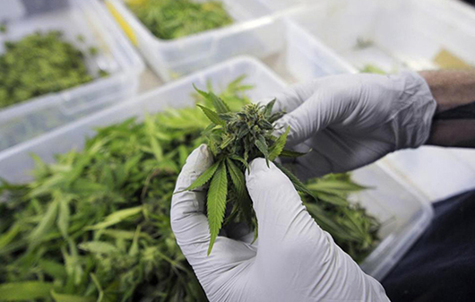 the classification of cannabis under the Marijuana is made from dried and shredded leaves, stems, flowers and seeds of the hemp plant cannabis sativa the mixture is green, brown or gray in color marijuana is a depressant that slows down messages between your brain and body.