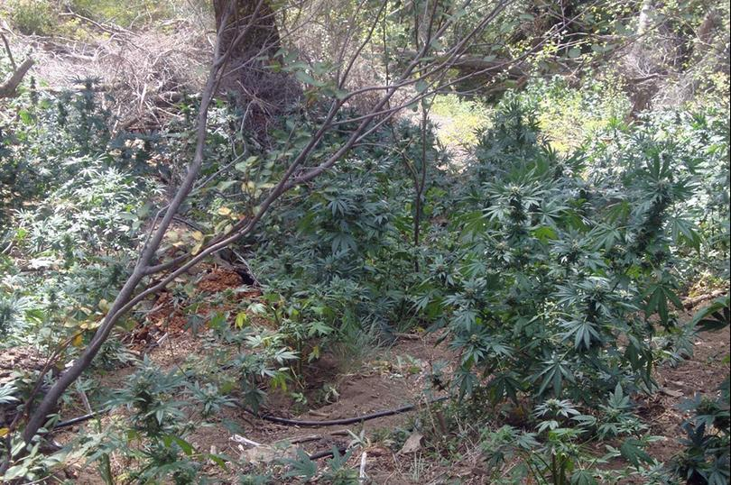 Outdoor Cultivation on Public Lands Produces Environmental Consequences
