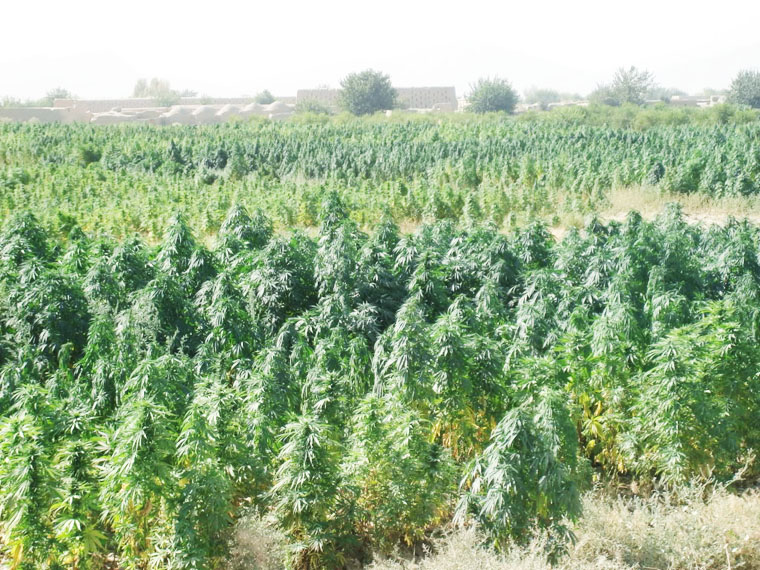 Cannabis Landraces