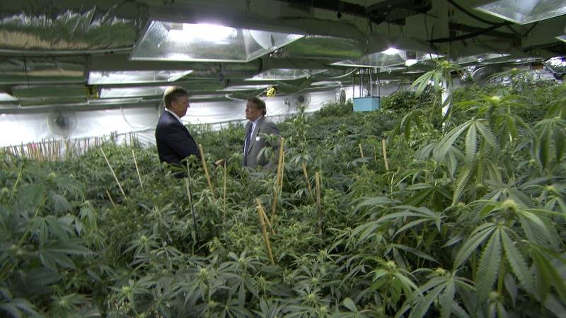 Suits in a Field of Cannabis