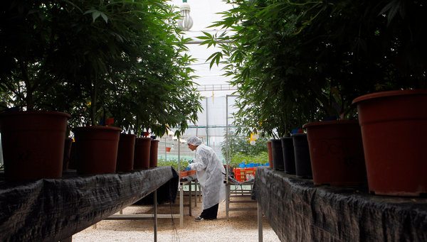 Israeli Company Tikkun Olam has Bred and Submitted Strains for Many Clinical Studies