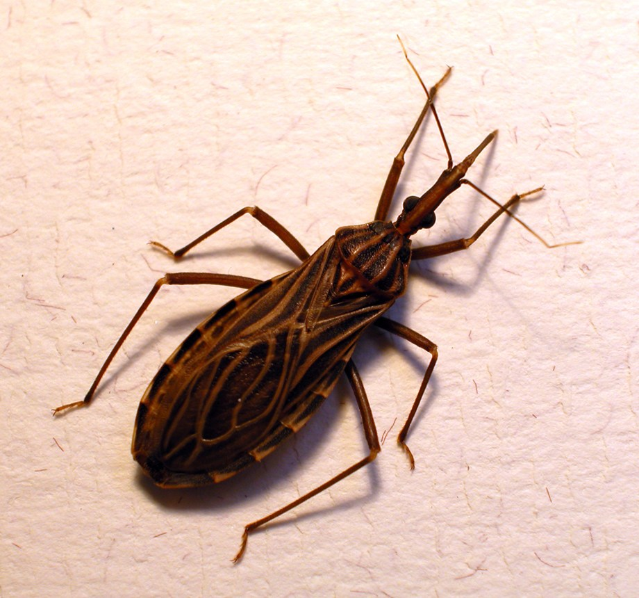 Kissing Bug (Rodnius prolix( by Dr. Erwin Huber, University of Manitoba (200()