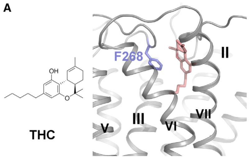 Docking Pose of THC on the CB1 Receptor